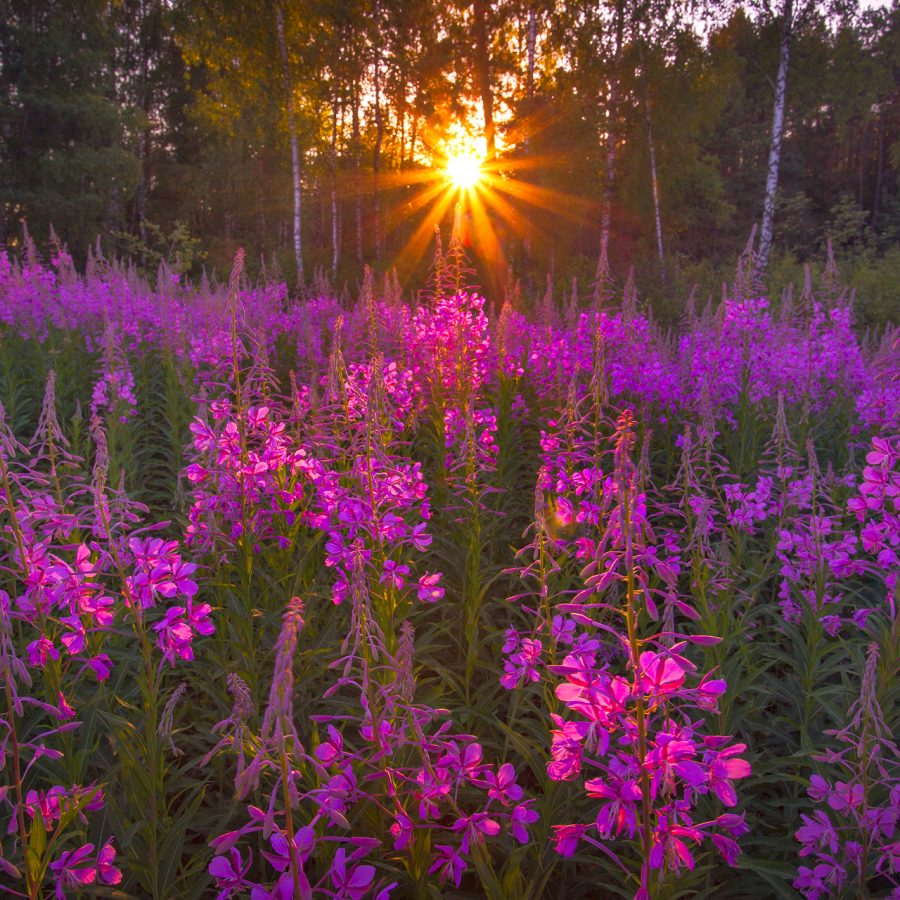 Sunset-in-the-field-of-flowers
