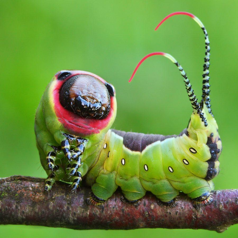 Moth Caterpillar - Cerura vinula
